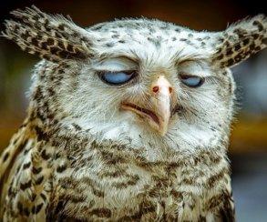 Мем соргазмирующей совой, разлетевшийся поTwitter, оказался фейком!